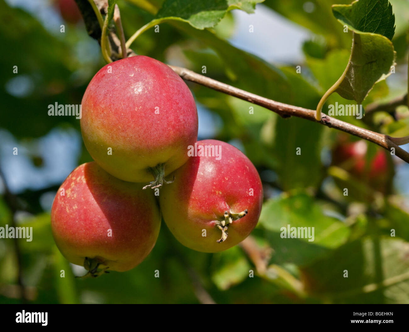 how to make crab apple fruit