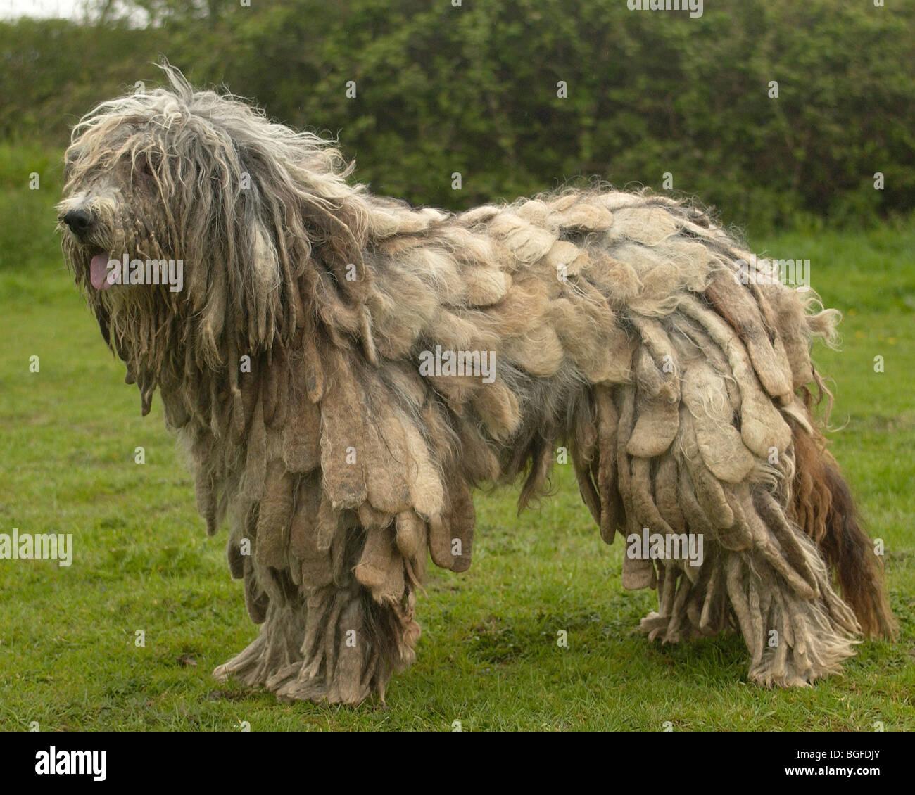 Bergamasco Dog Stock Photo Royalty Free Image 27384867