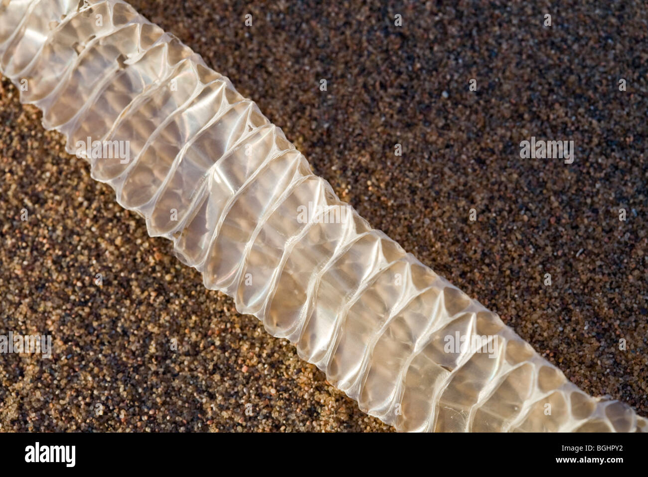 Freshly Shed Snake Skin Found On The Sand In Egypt S