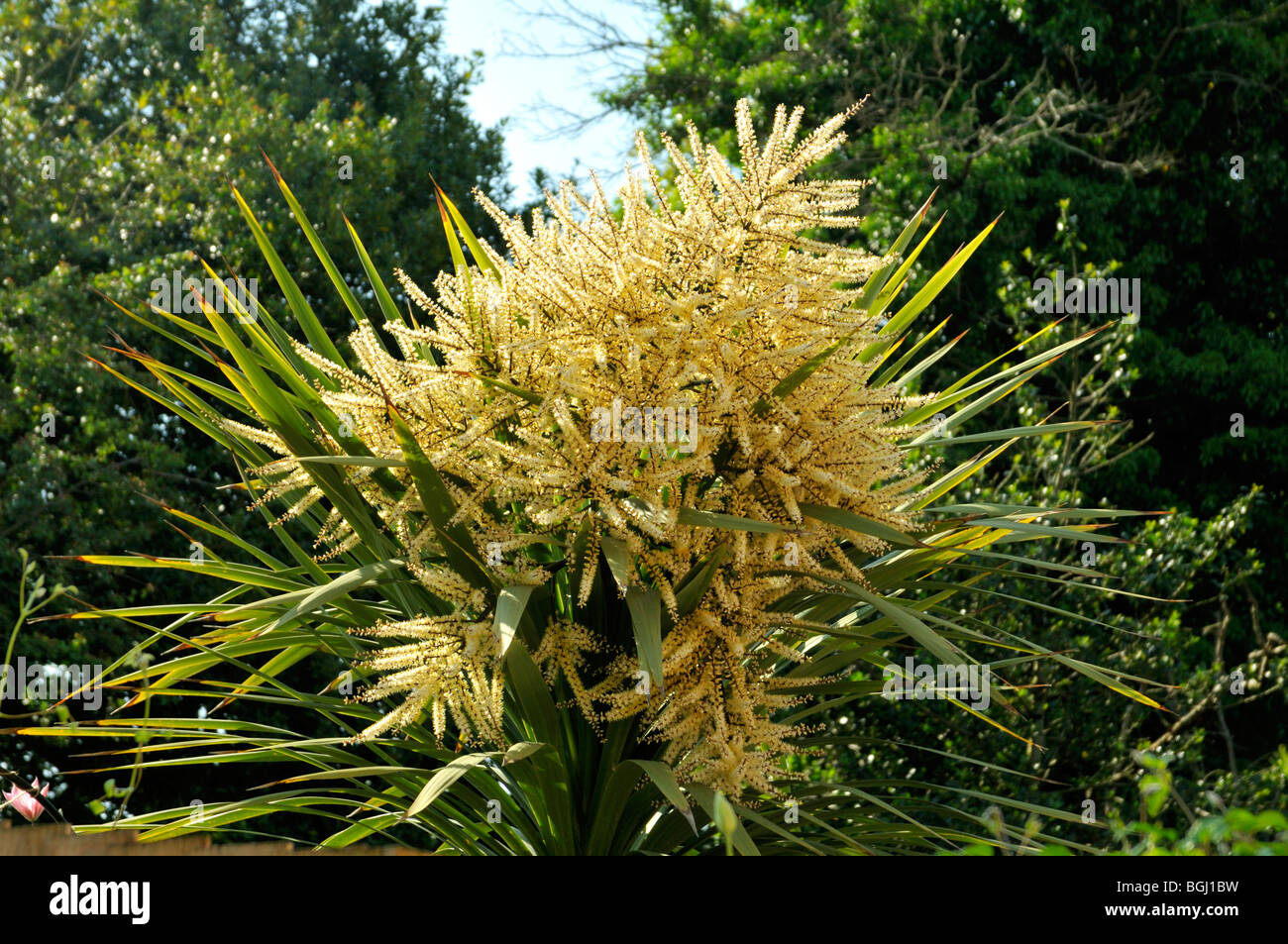 Cordyline australis Cabbage Palm Tree Stock Photo Royalty Free