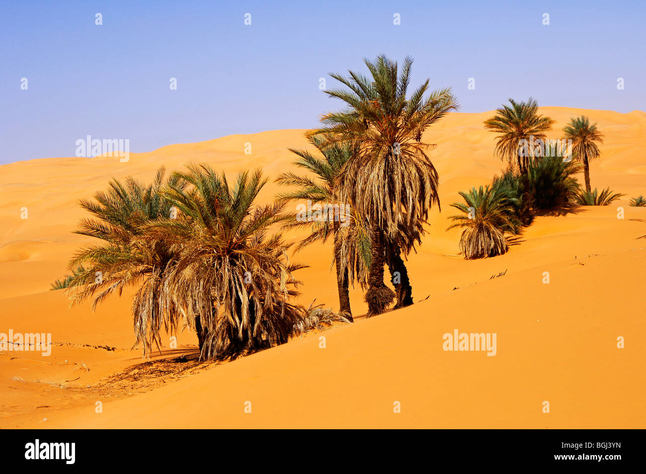 Date Palm Tree In Sahara Desert