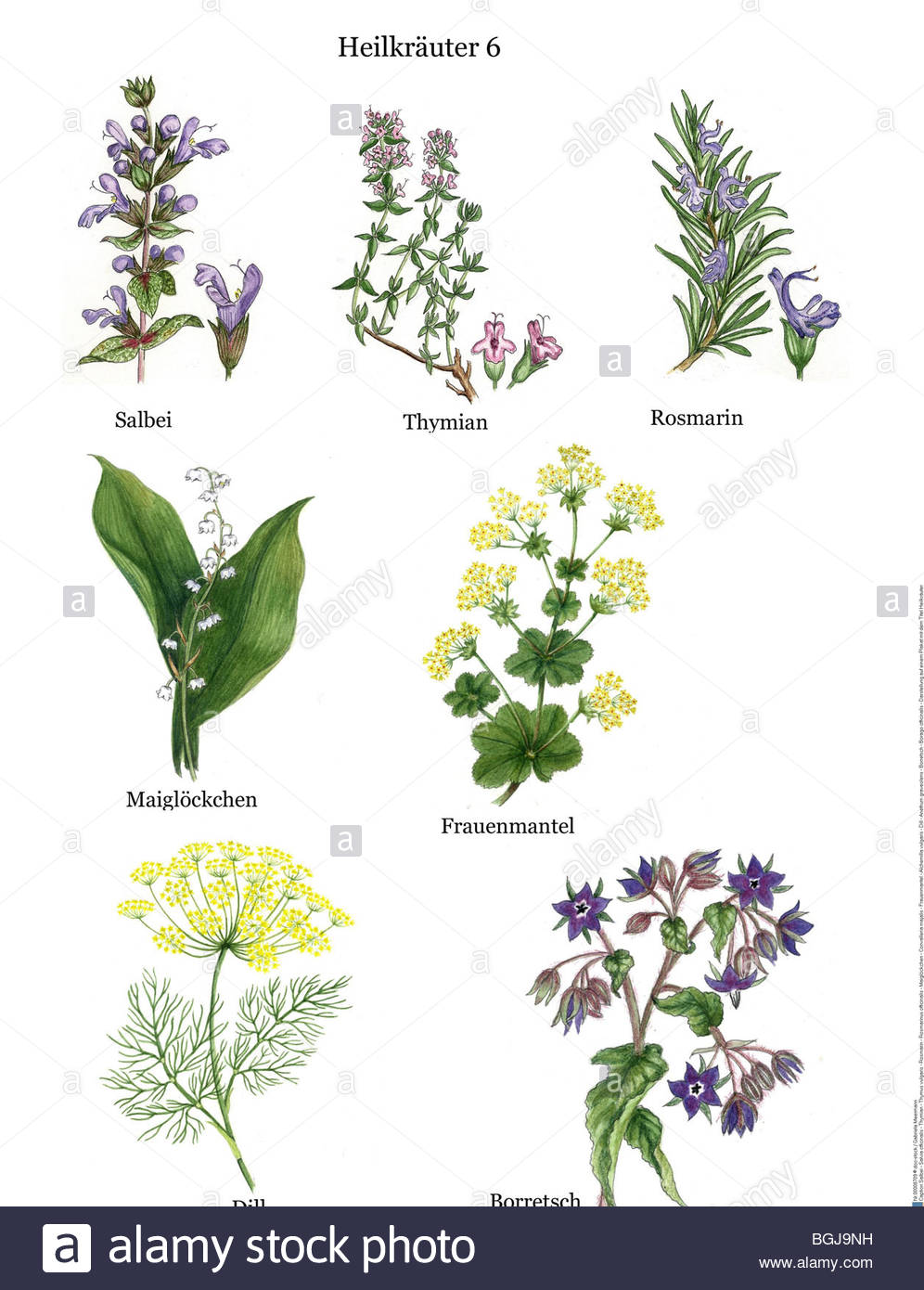 rosemary herb diagram remedial plants: sage - salvia officinalis - thyme ...  #15