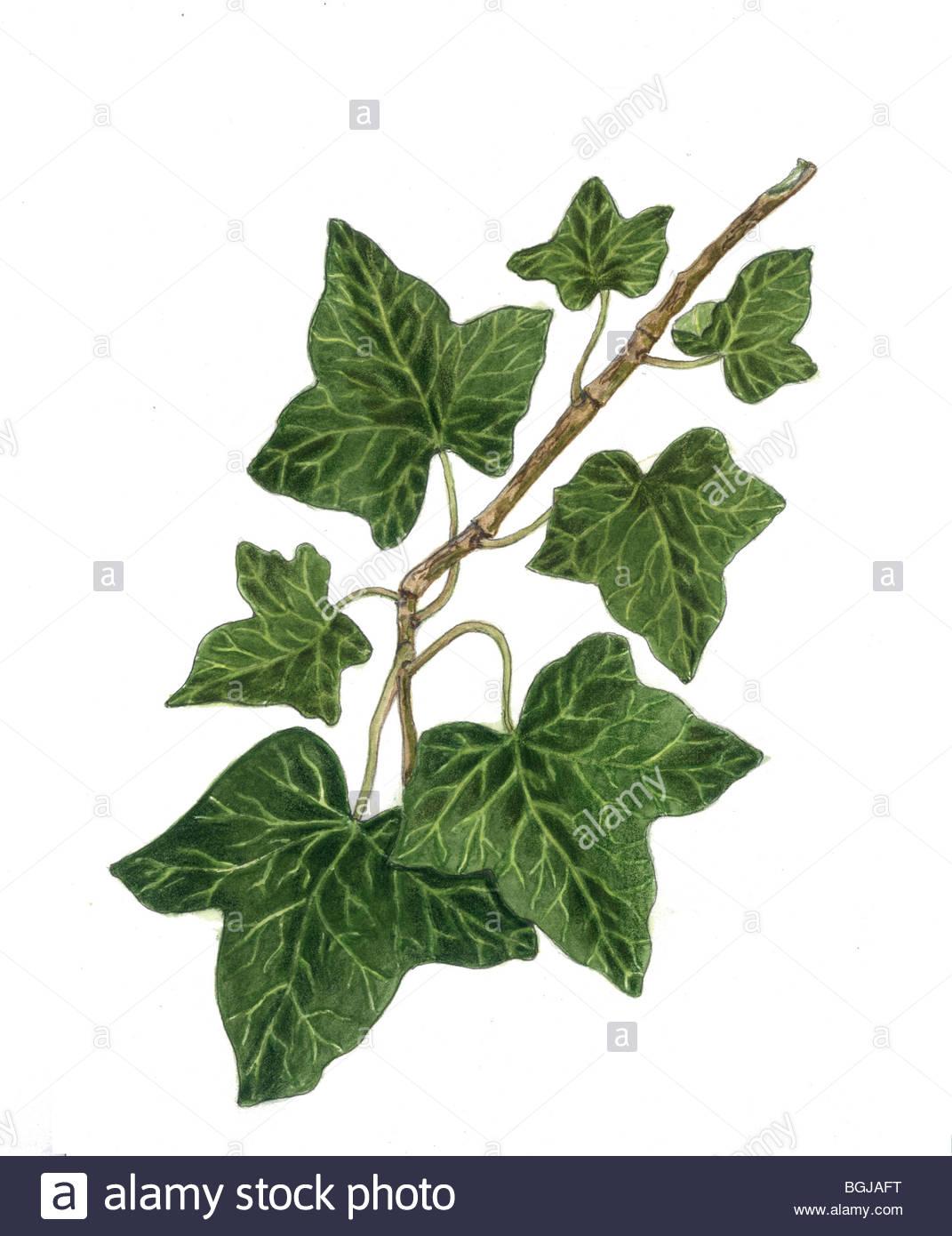 Hedera helix english ivy