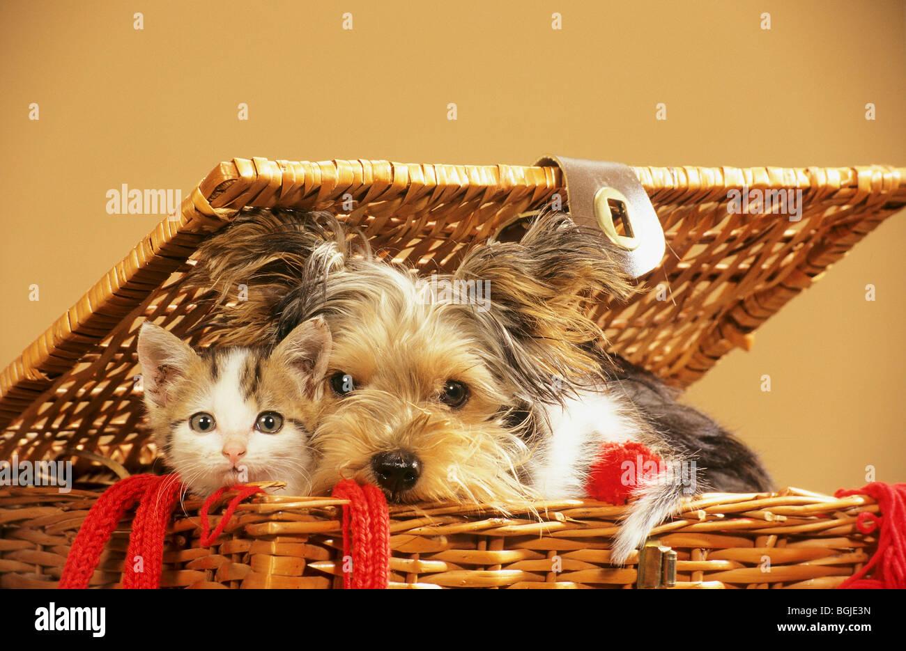 animal friendship Yorkshire Terrier dog and kitten in basket