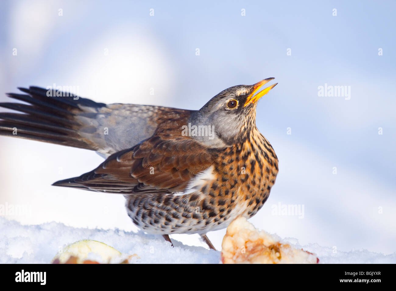 fieldfare startled by another bird trying to take it u0027s food in a
