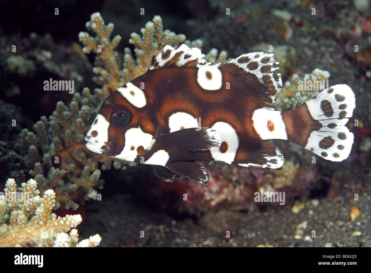 Adolescent or sub adult clown sweetlips also known as for Sweet lips fish
