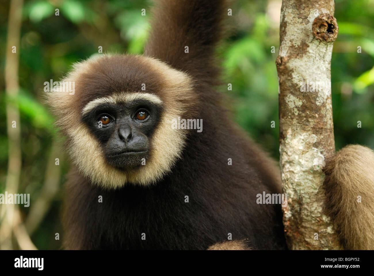 Singles in gibbon