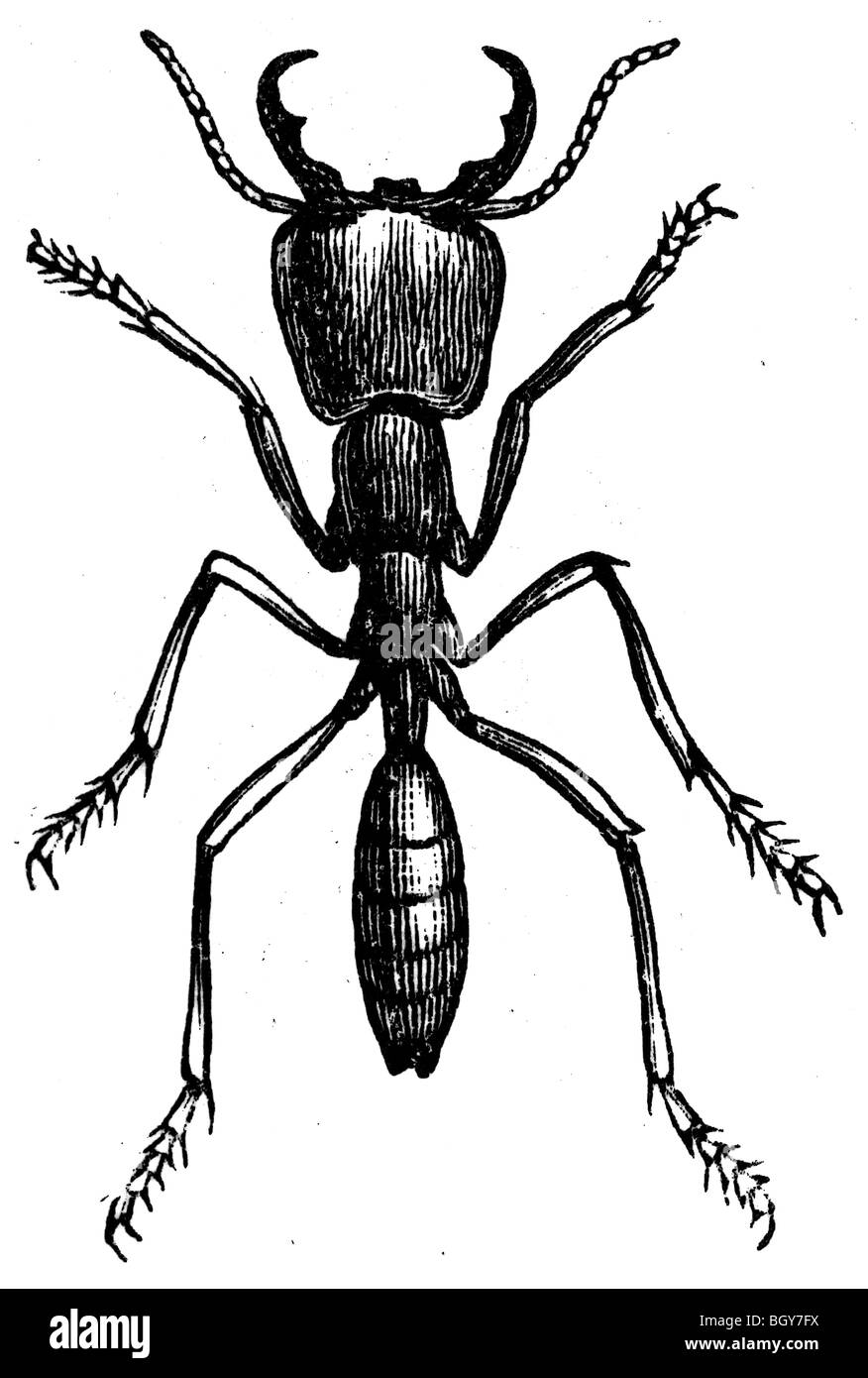army ant or legionary ant or marabunta stock photos u0026 army ant or