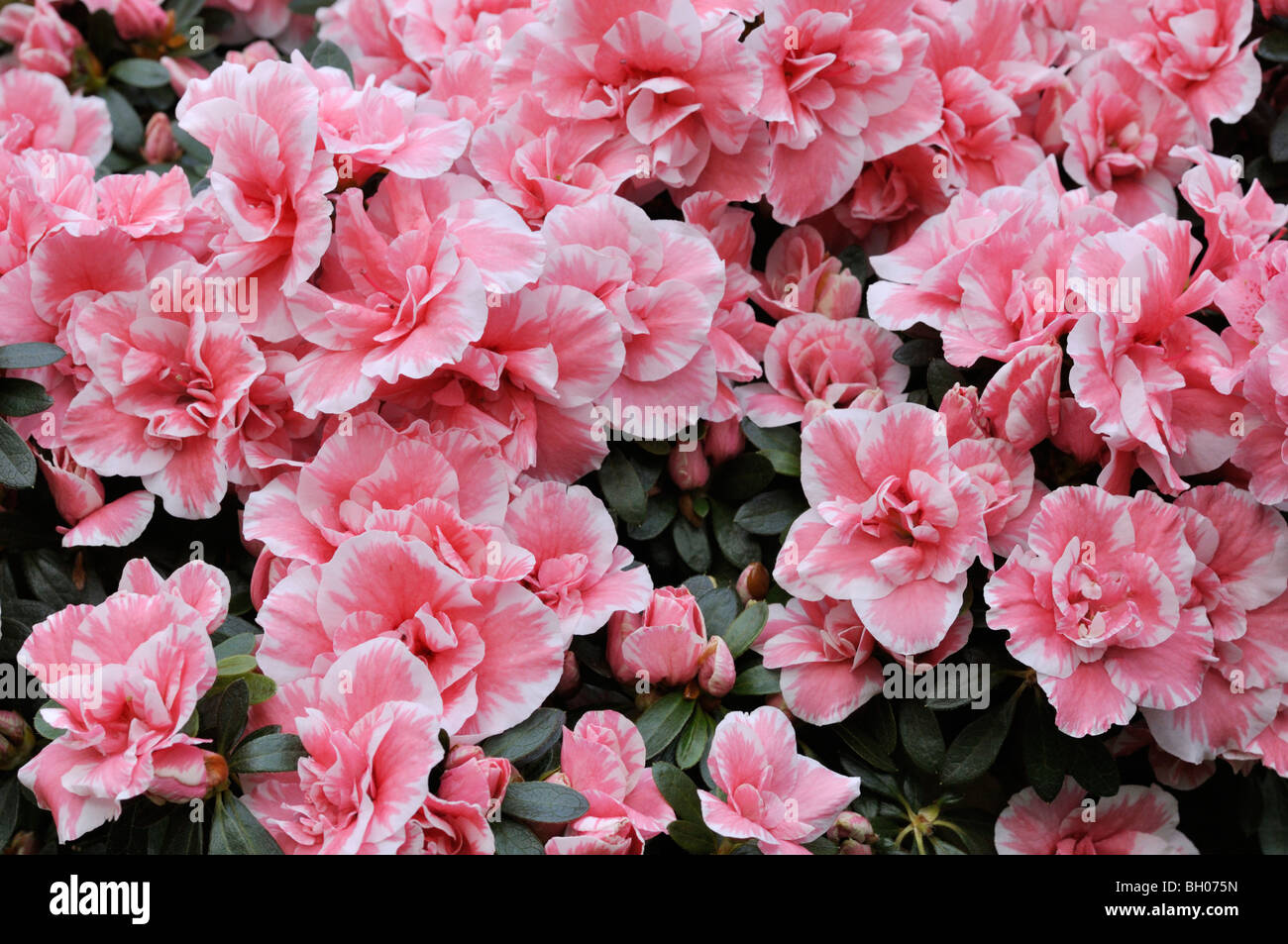 indian azalea rhododendron simsii 39 doberlug 39 stock photo royalty free image 27665169 alamy. Black Bedroom Furniture Sets. Home Design Ideas