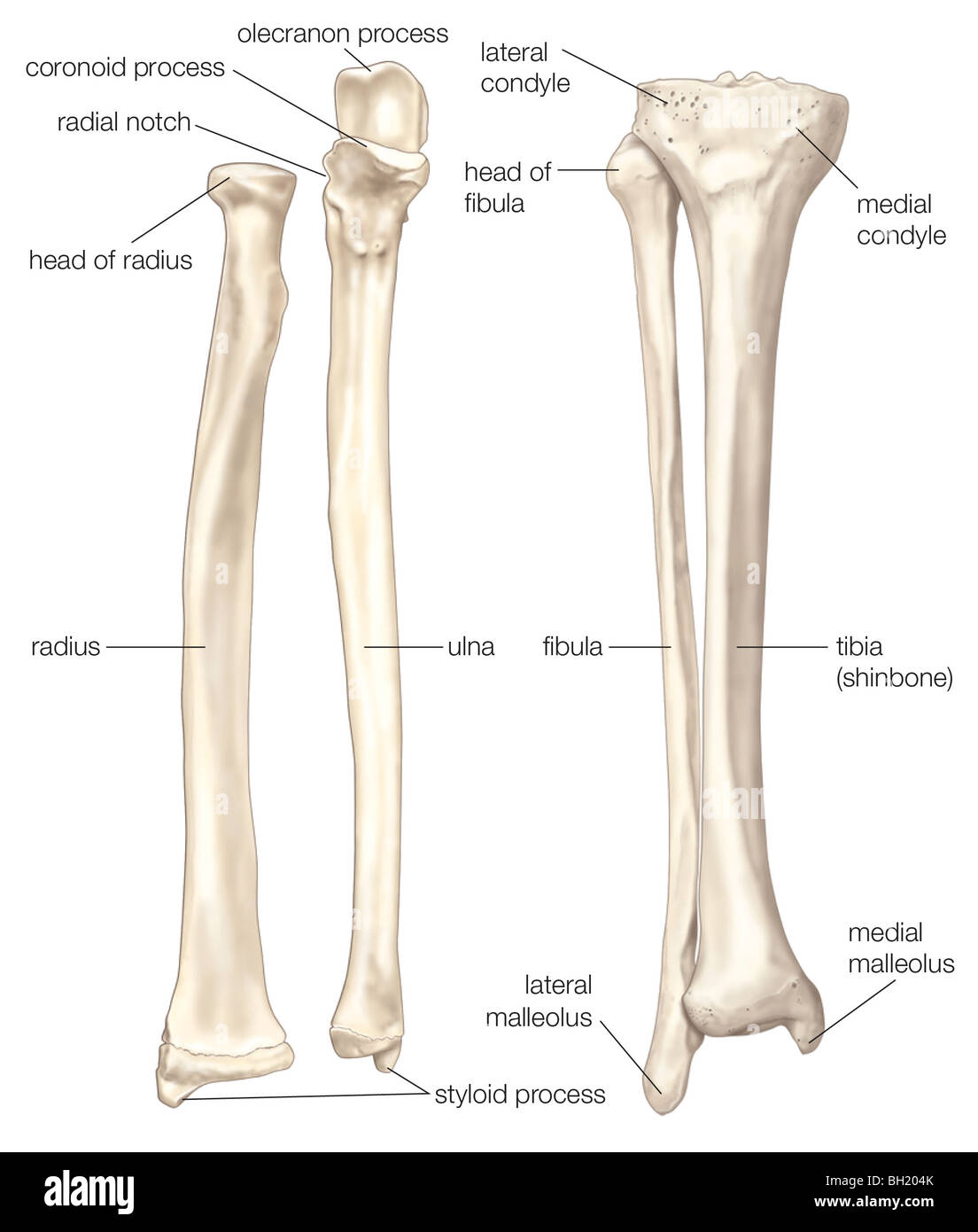 bones of the forearm and lower leg stock photo, royalty free image, Cephalic Vein