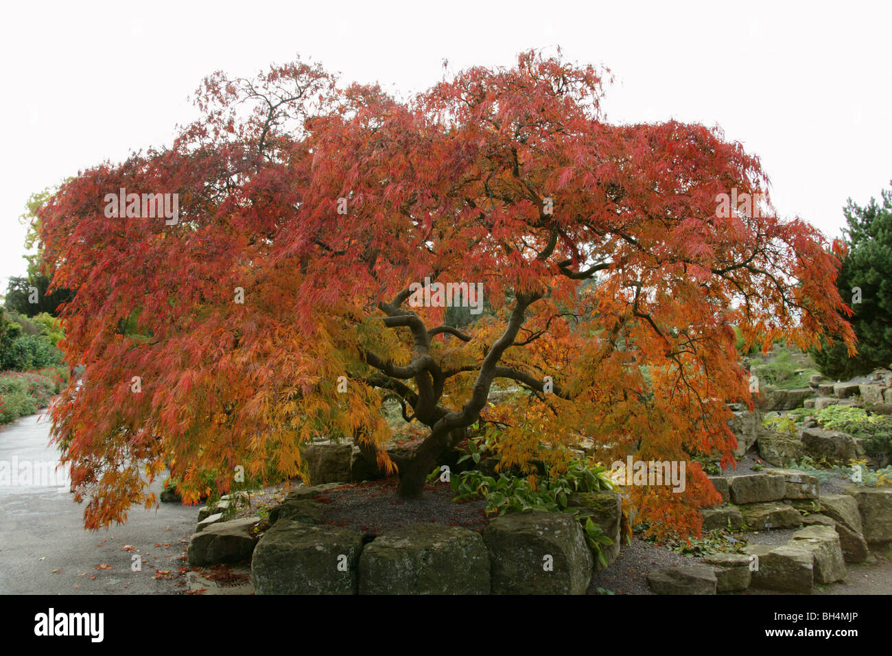 japanese maple acer palmatum dissectum atropurpureum. Black Bedroom Furniture Sets. Home Design Ideas