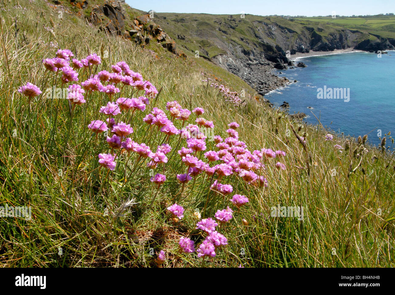 Sea pinks flowers gallery flower decoration ideas group of thrift or sea pink armeria maritima flowers growing on group of thrift or sea mightylinksfo Image collections