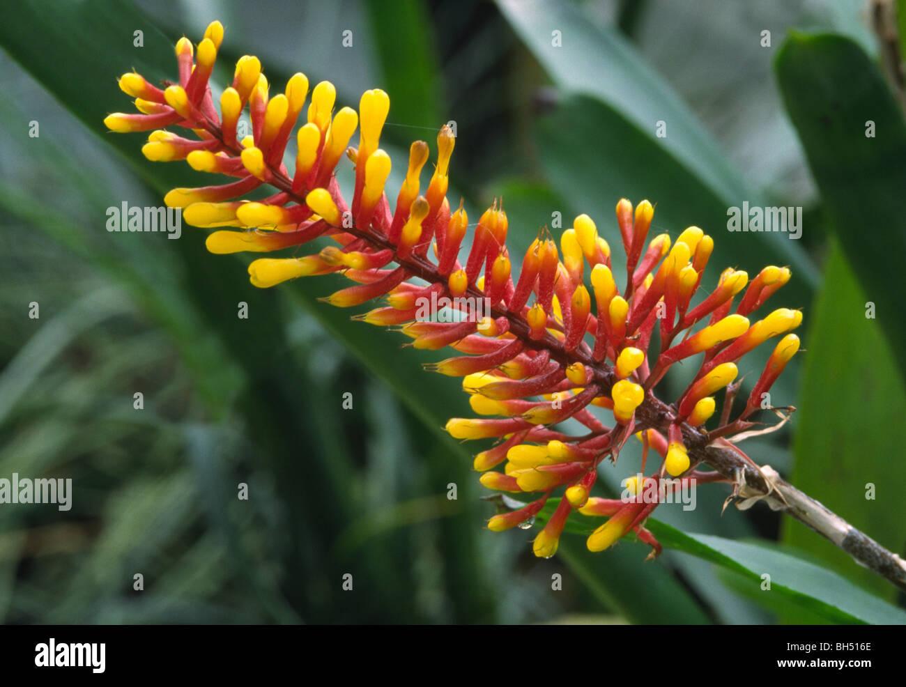 Close up of a bromeliad flower Aechmea winkleri growing in a Stock R