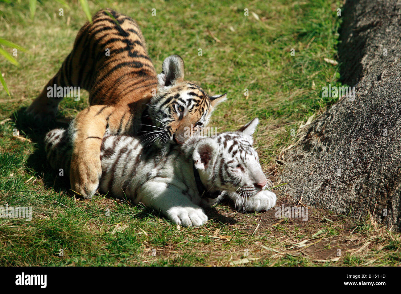 Two young Bengal Tiger Cubs play-fighting at Couger ...