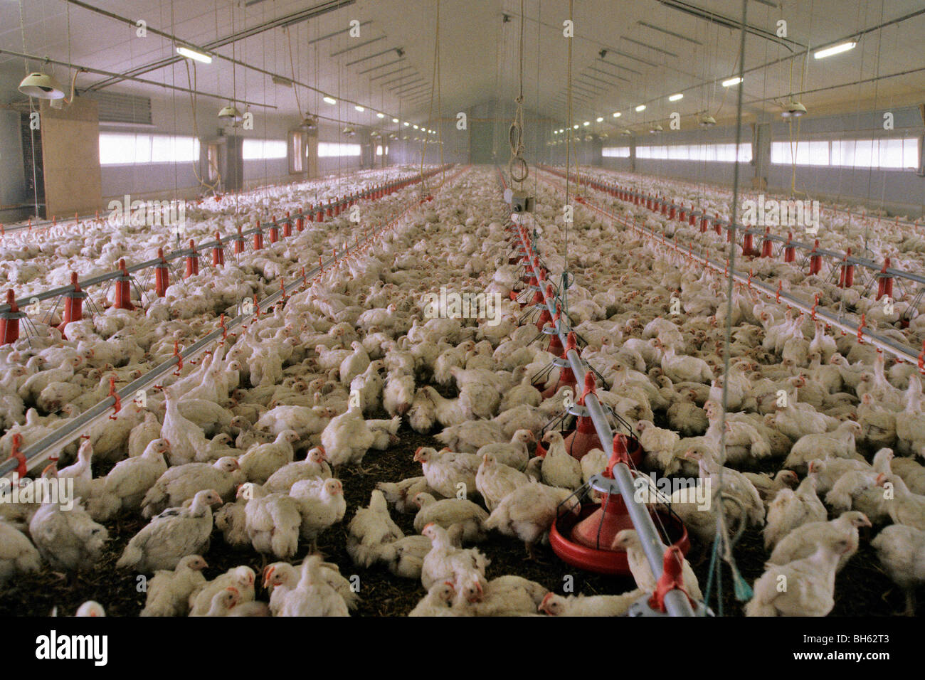 INTENSIVE FARMING OF BATTERY CHICKENS (CALLED 'FOUR-QUARTERS ...