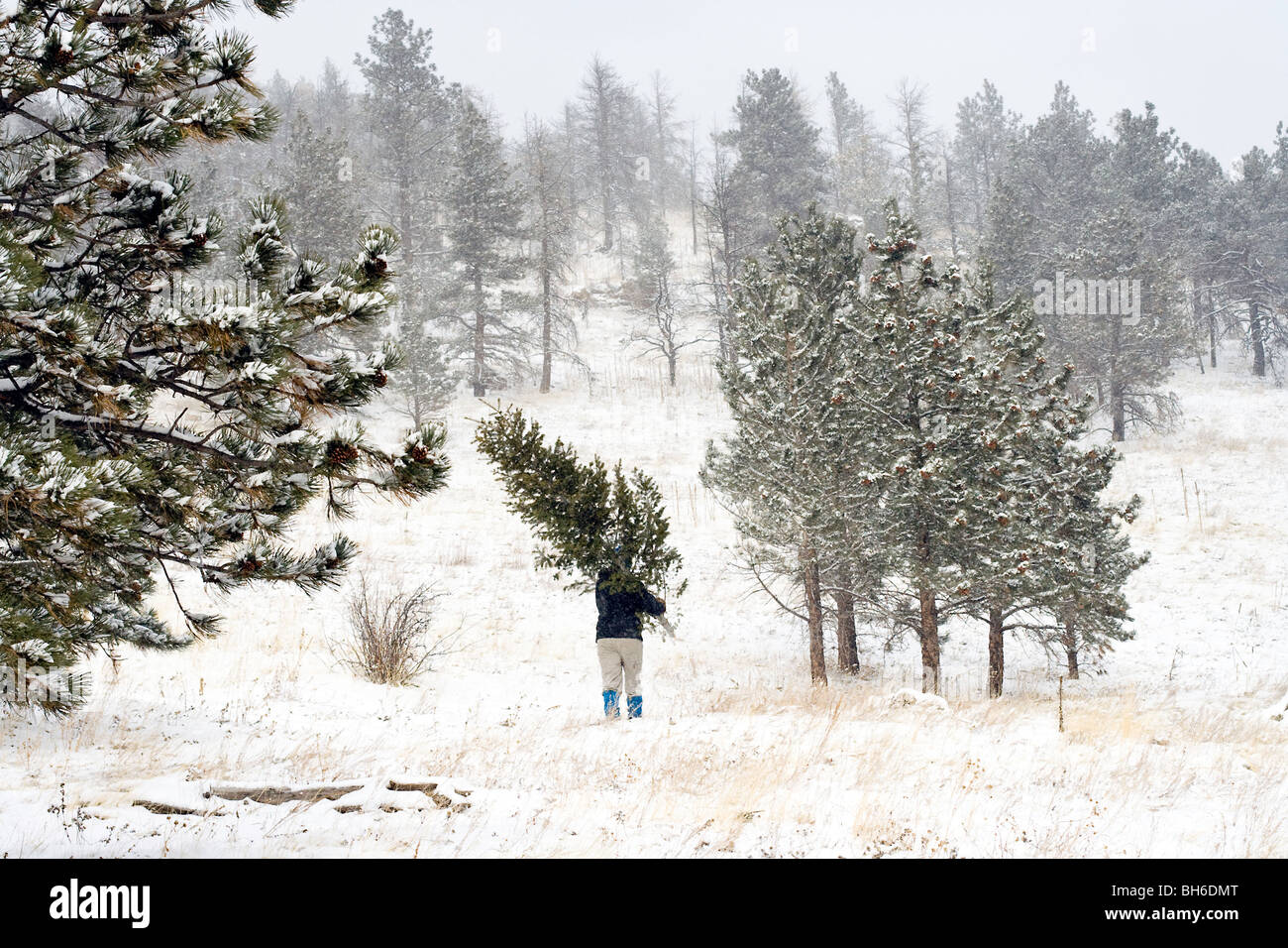 Cutting down a Christmas tree in the Colorado woods Stock Photo ...