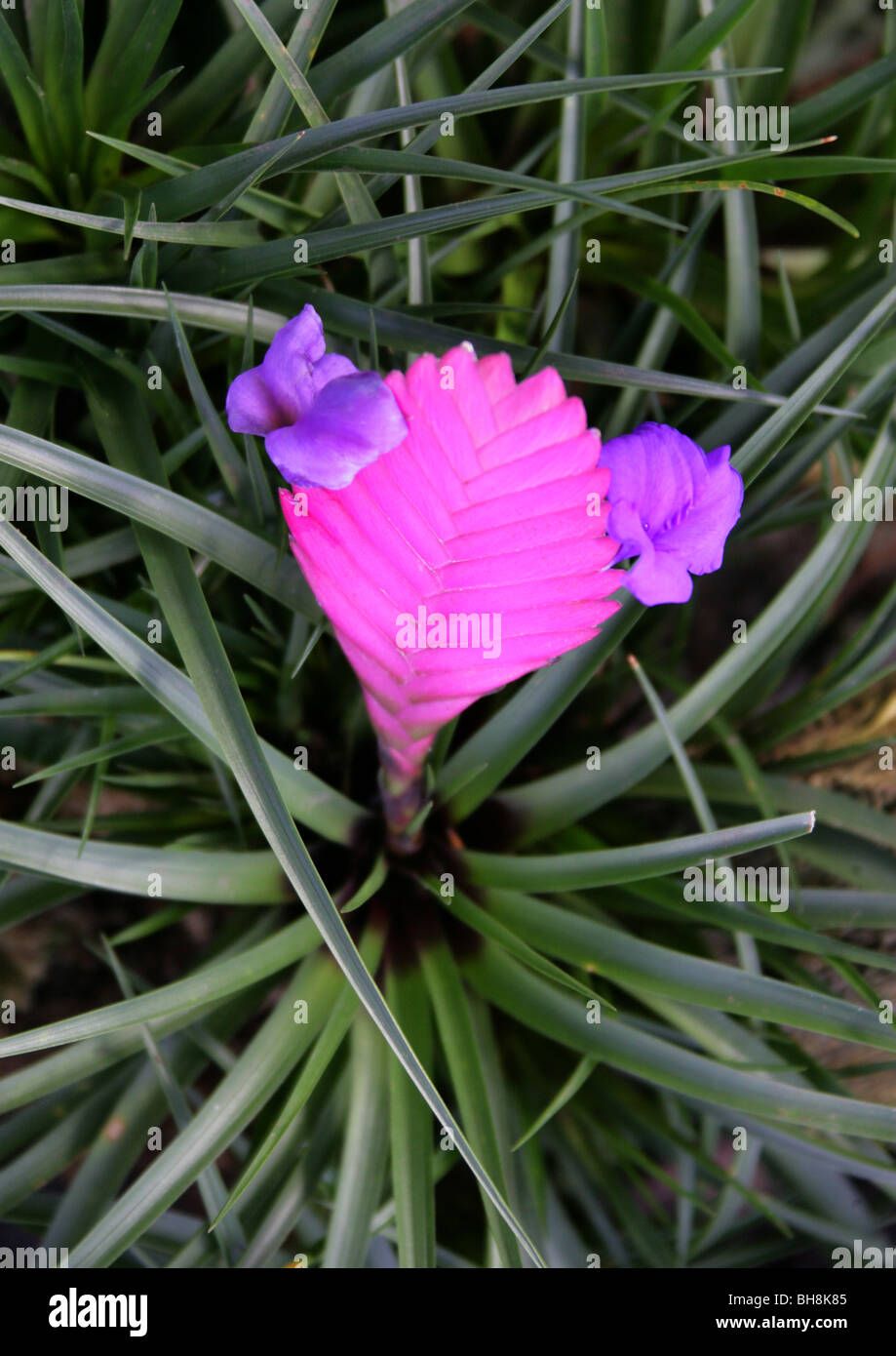 Tillandsia Cyanea Linden Ex K Koch: Pink Quill, Tillandsia Cyanea, Bromeliaceae, Ecuador