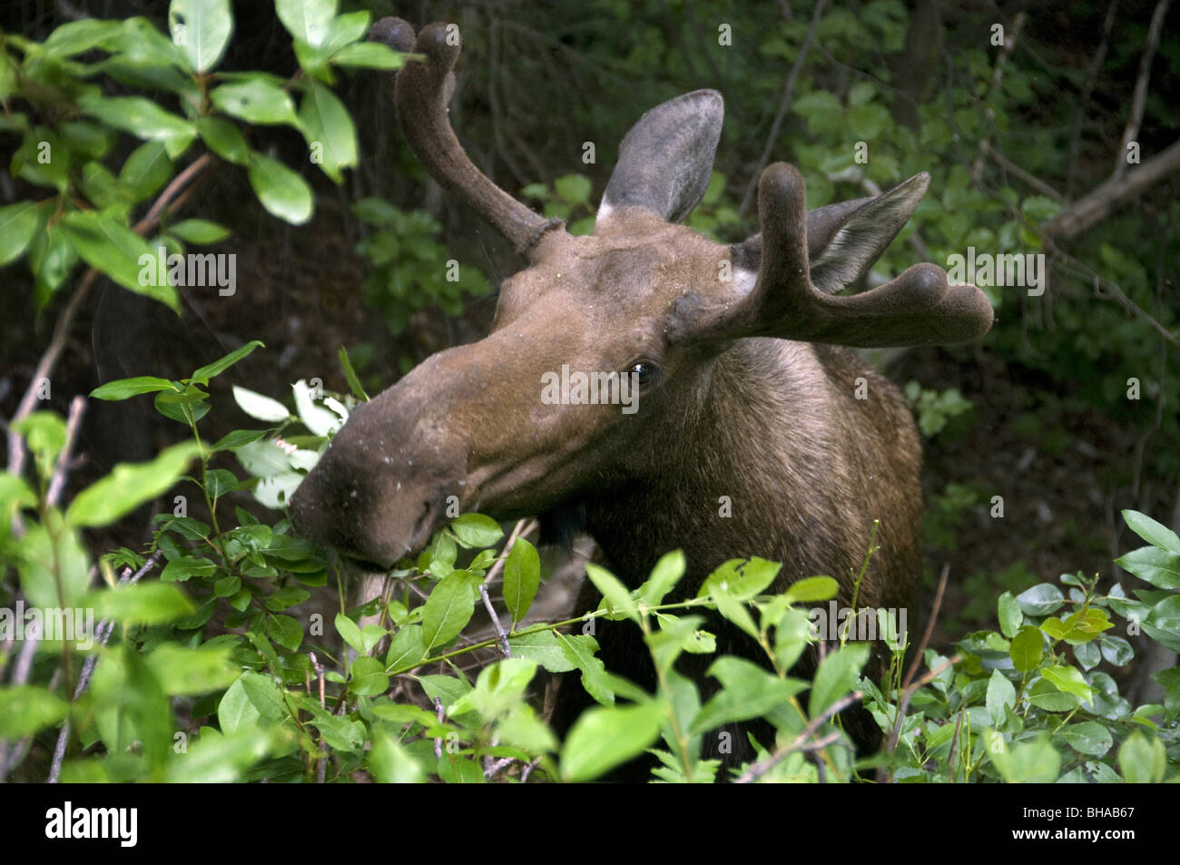 close up of a moose eating foliage southcentral alaska summer