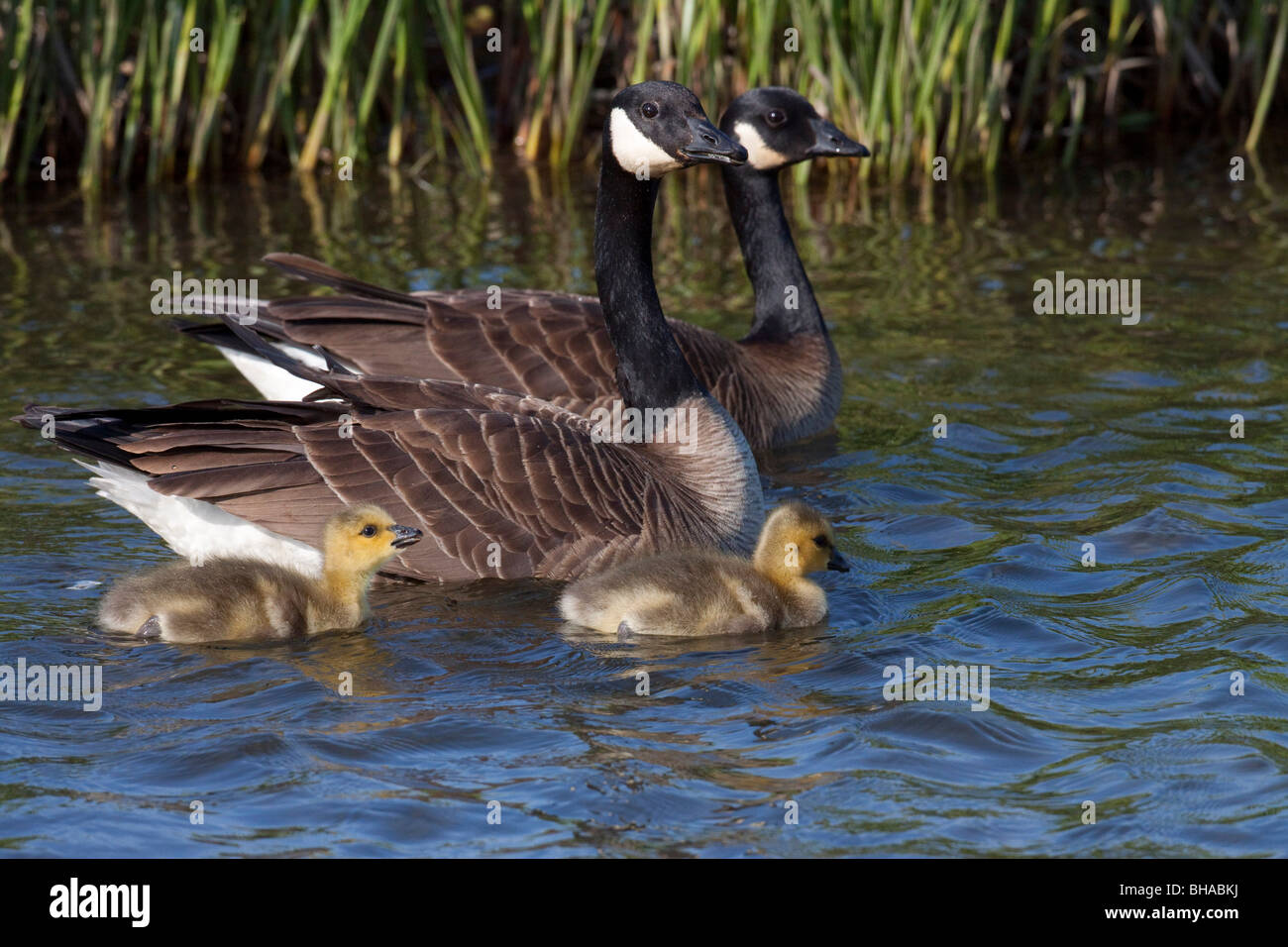Canada goose stock photos canada goose stock images alamy adult canadian geese swimming with two newborn gosling chicks in potter marsh anchorage southcenteral biocorpaavc
