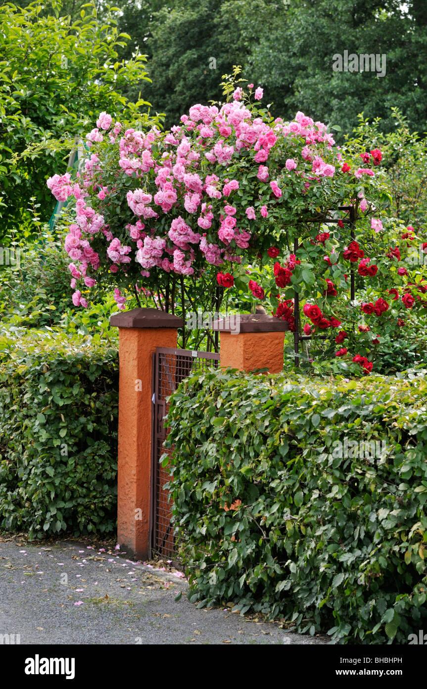 Entrance To Portland Rose Gardens : Garden entrance with climbing rose stock photo royalty