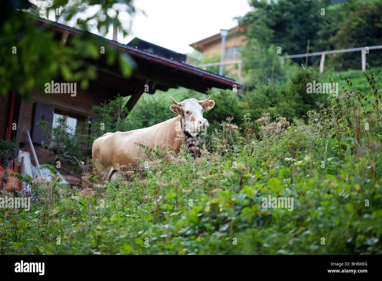 cow in backyard pasture in switzerland town of gimmelwald stock