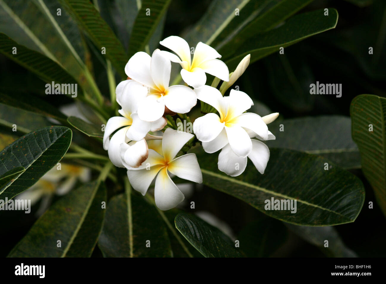 plumeria acuminata Background: [corrected] plumeria acuminata belonging to the family  apocynaceae is commonly known as 'perungalli' in tamil and is.