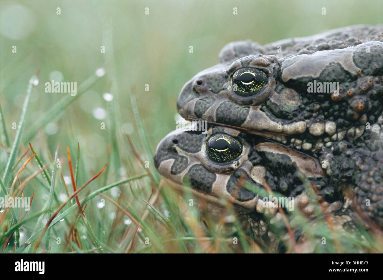 Two european green toads mating sweden stock photo royalty free two european green toads mating sweden biocorpaavc Images
