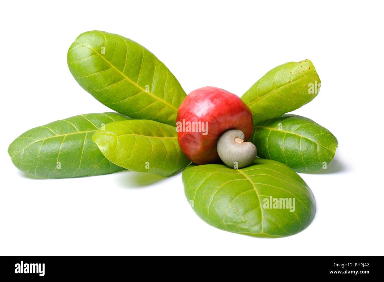 fruit caju and leaves of cajueiro cashew tree anacardium stock