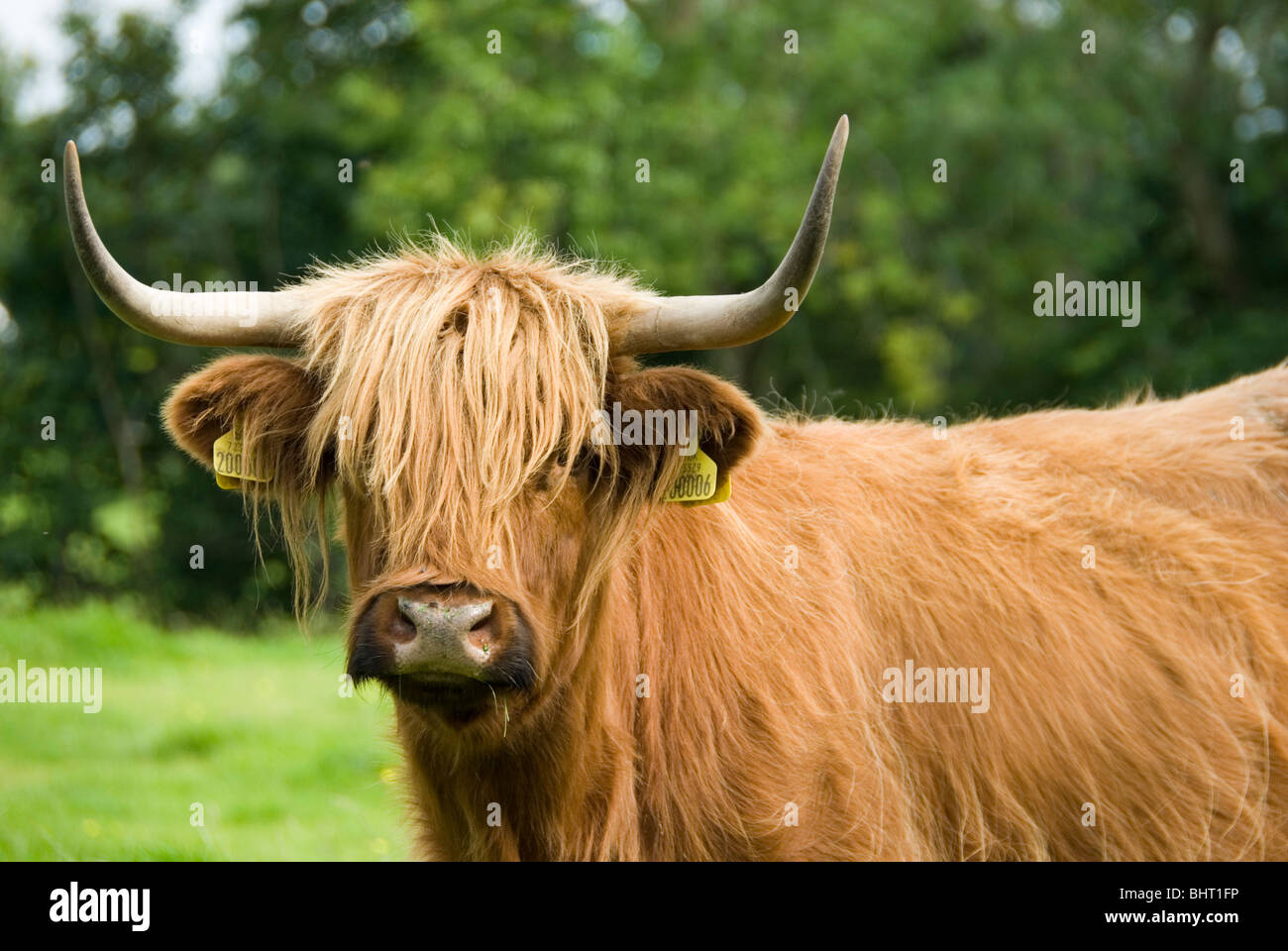 close up on face and horns of a hairy brown pure breed highland