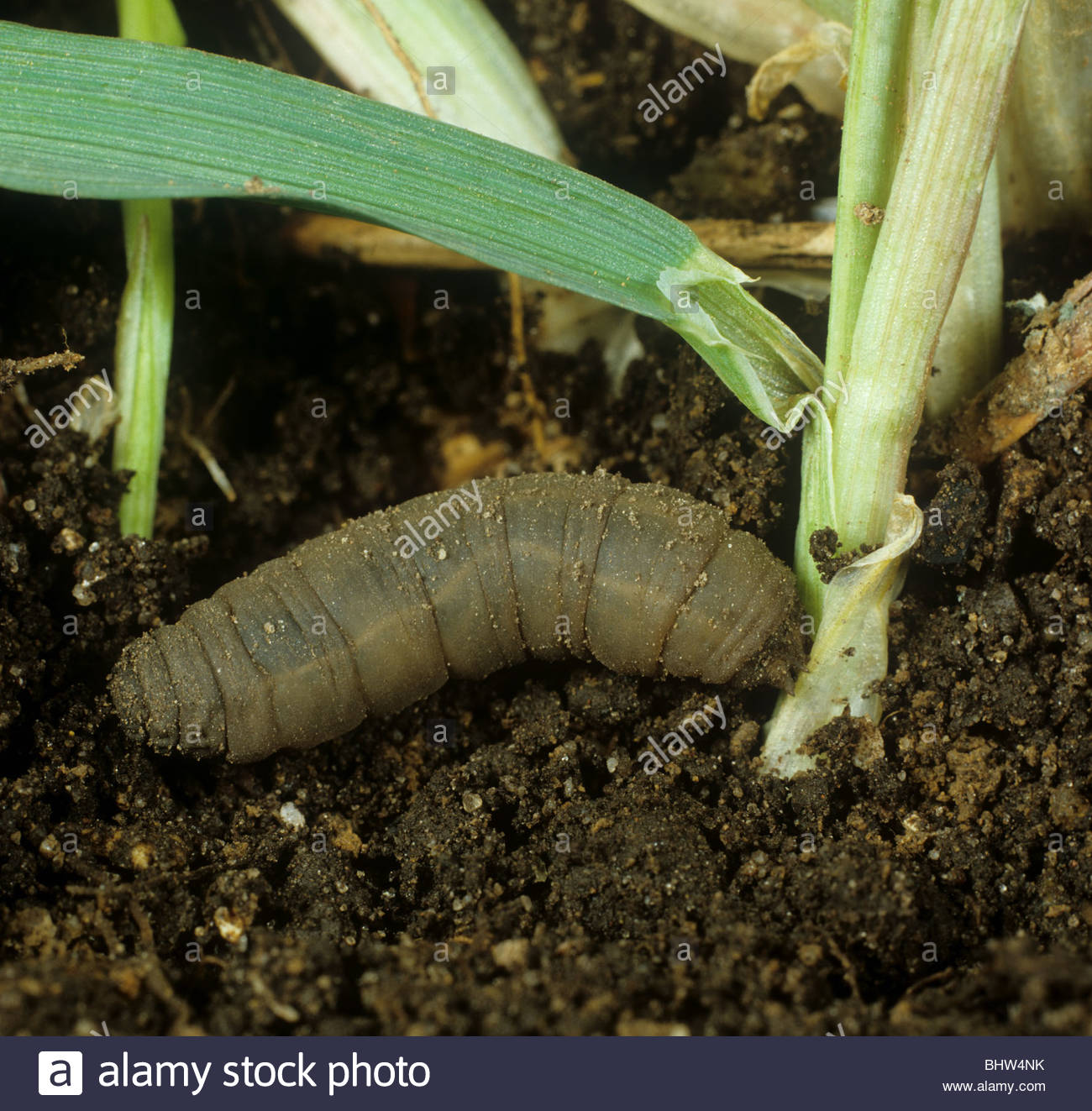 Leather jacket pest