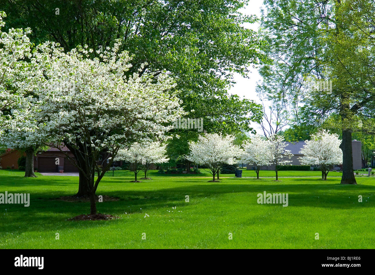 Dogwood Trees In Bloom In Spring Columbus Indiana Stock