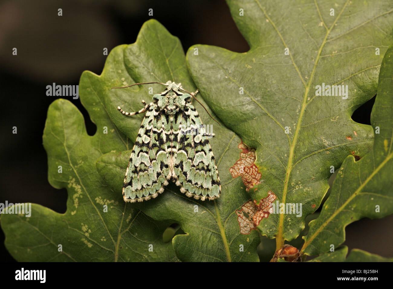 merveille du jour dichonia aprilina on oak leaves stock photo royalty free image 28322325 alamy. Black Bedroom Furniture Sets. Home Design Ideas