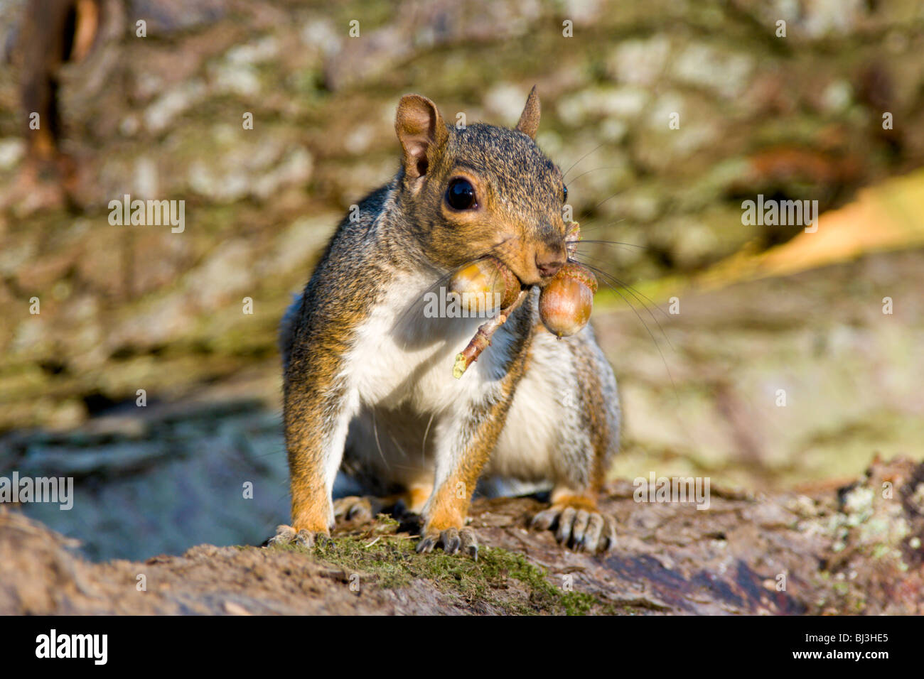 Grey Squirrel with acorns in mouth in Autumn Stock Photo ...