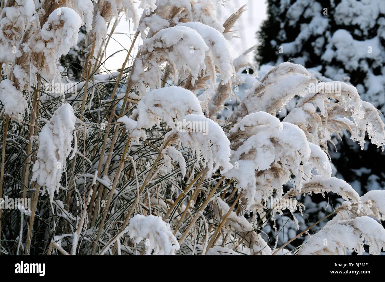 cortaderia selloana seedheads ice snow decorate cover ornamental