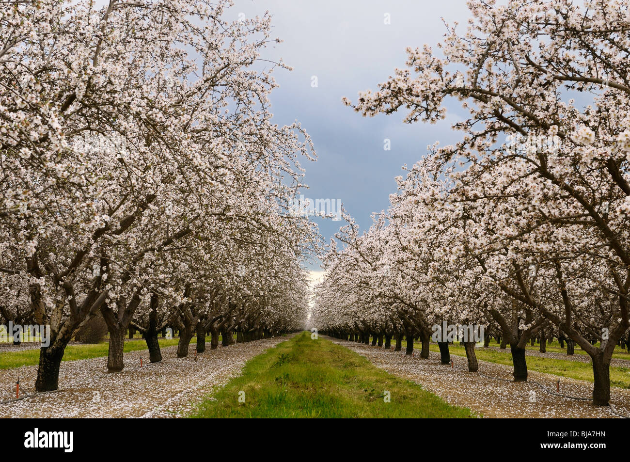 Rows of flowering almond tree grove blossoms in California ...