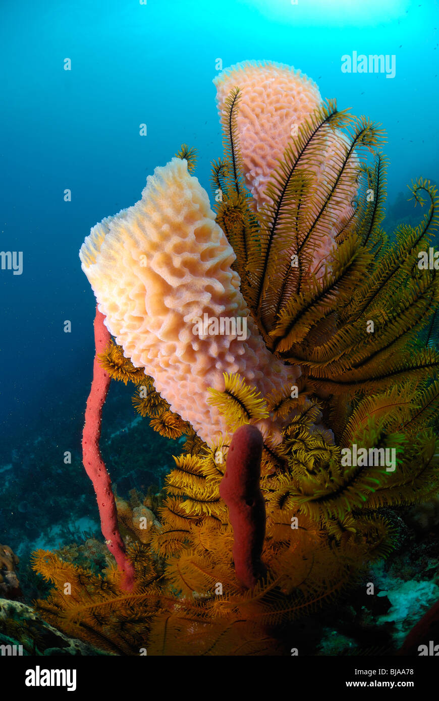 Pink vase sponge best vase decoration 2018 pink vase sponge on a reef in cayman brac islands stock azure vase sponge reviewsmspy