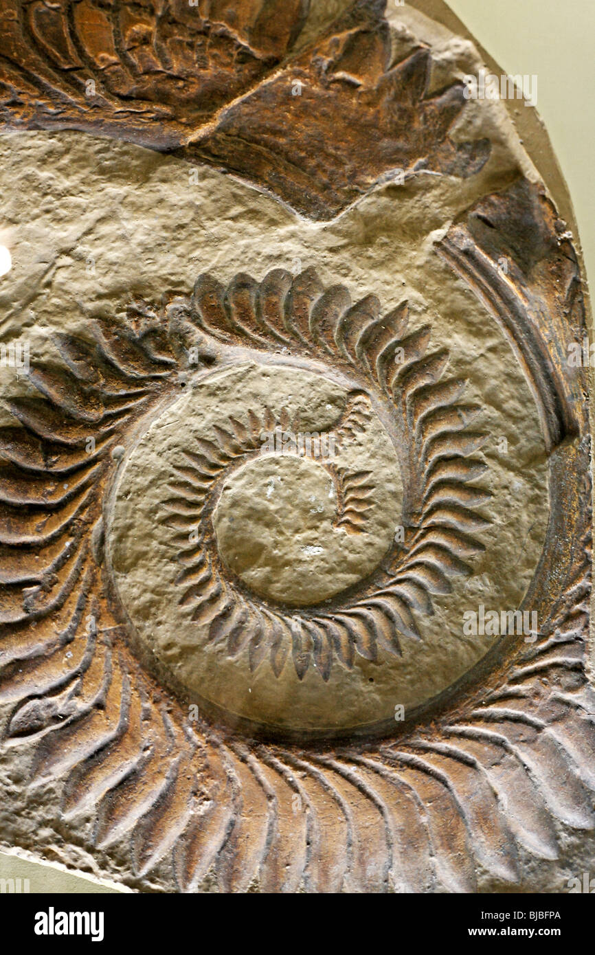 Fossil (Helicoprion bessonowi), Palaeontology museum ...