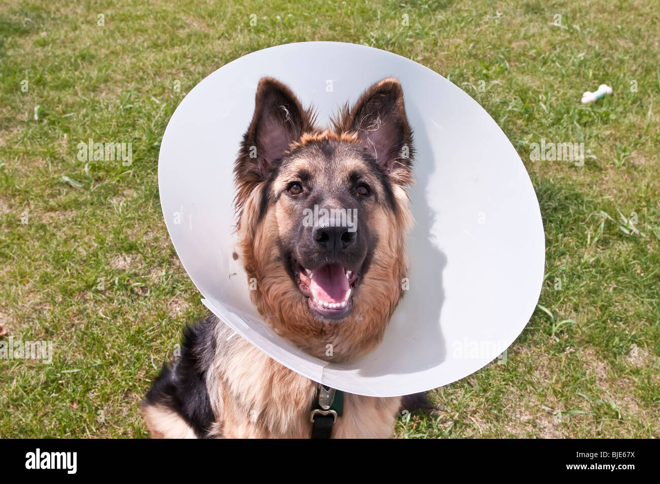 German shepherd with cone