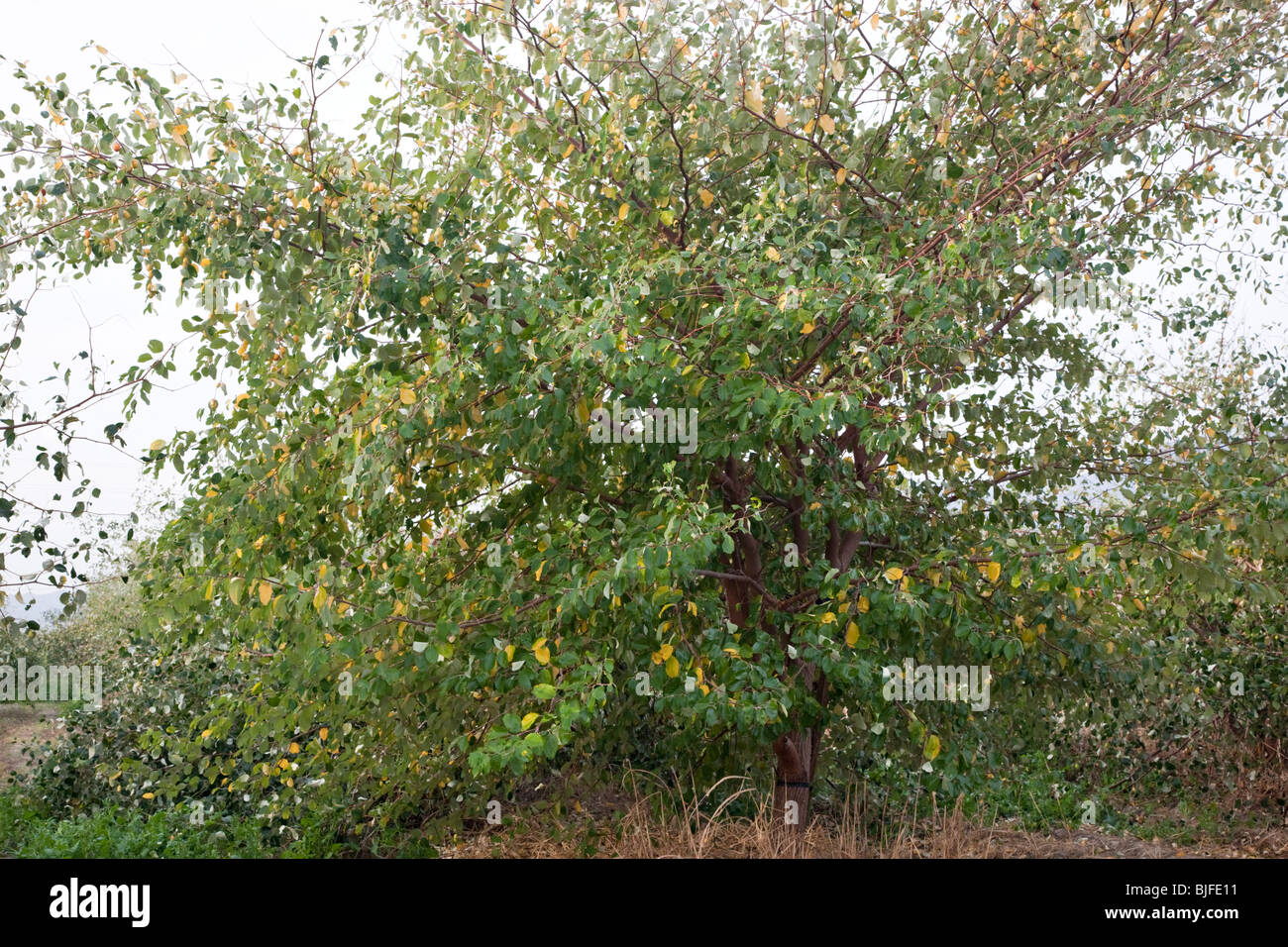 jujube ziziphus jujuba tree bearing fruit stock photo