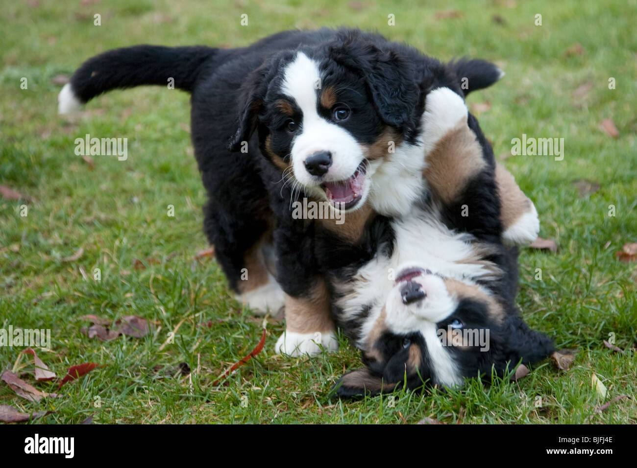 Best Bernese Mountain Dog Videos
