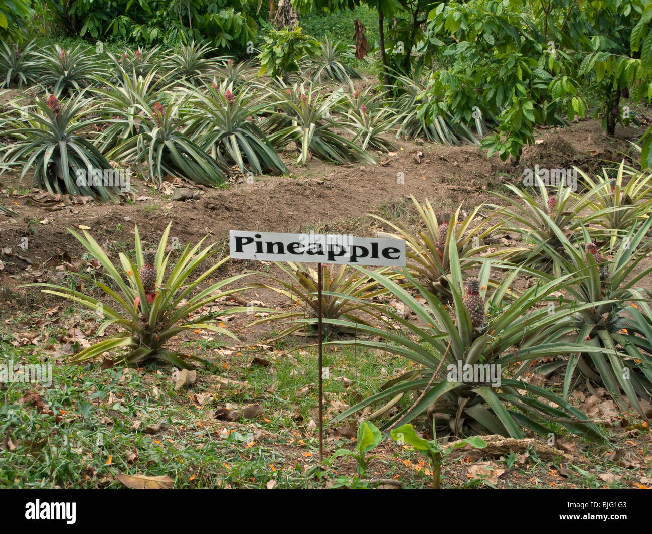 A Field Of Growing Pineapple Plants On The Caribbean Island Tobago