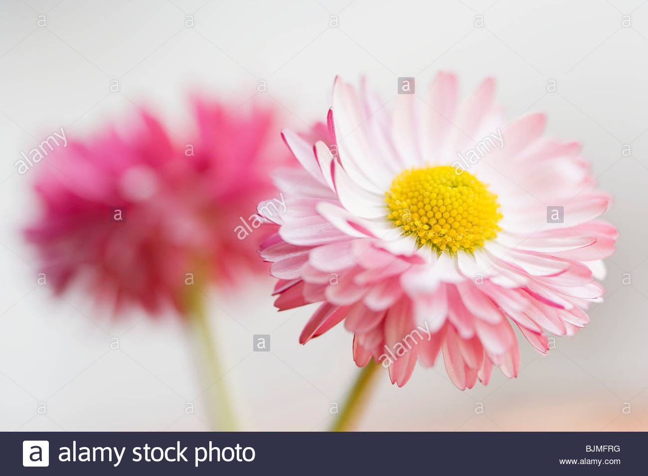 Two Daisies On The Sidewalk Royalty Free Stock Images Image