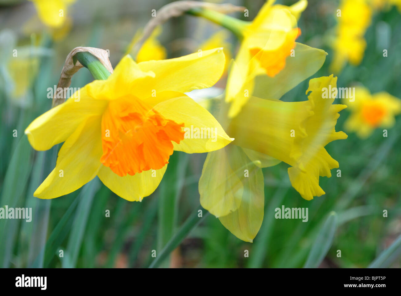double exposure of daffodils stock photo royalty free image