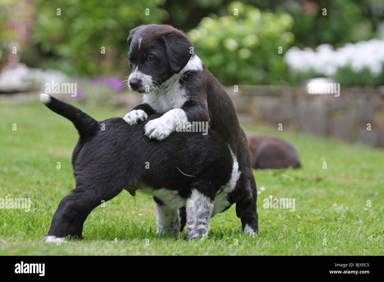 Mongrel Puppies Stock Photos Mongrel Puppies Stock Images Alamy