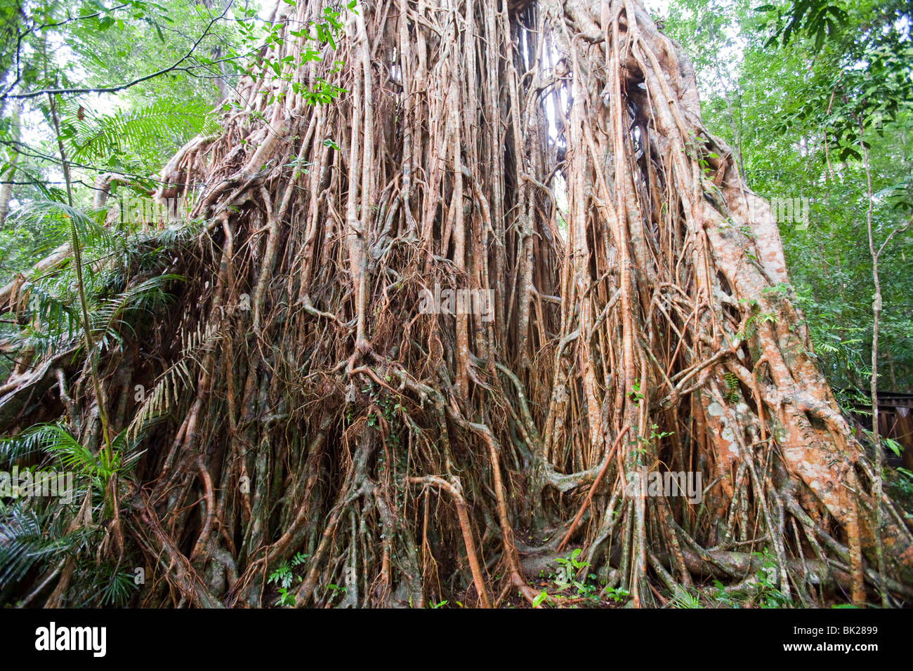 the cathedral fig tree in the daintree rain forest queensland