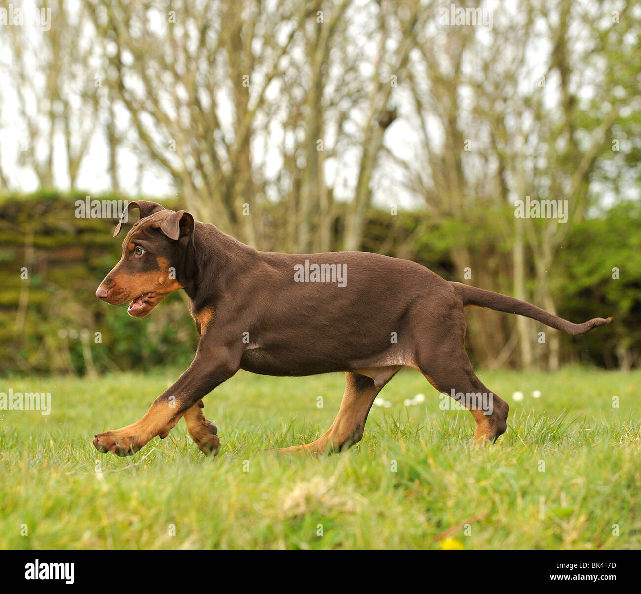 BROWN DOBERMAN PINSCHER PUPPY FULL TAIL, UNCROPPED, UK ...