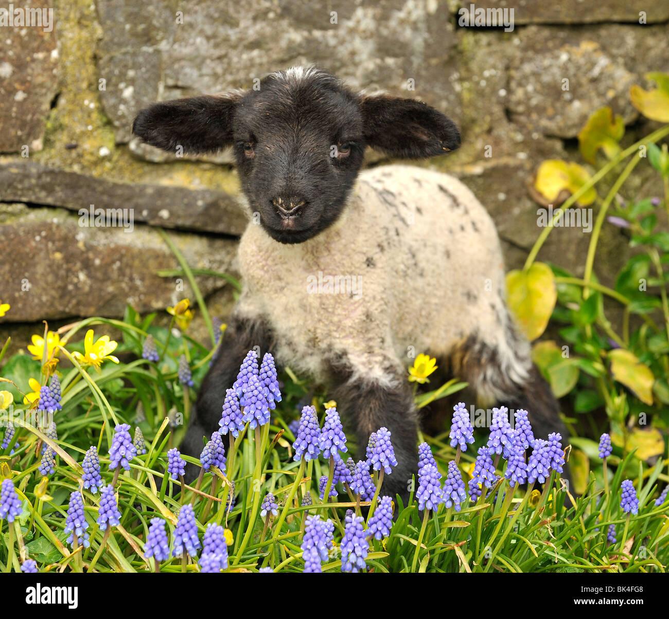 lamb in spring flowers uk stock photo royalty free image