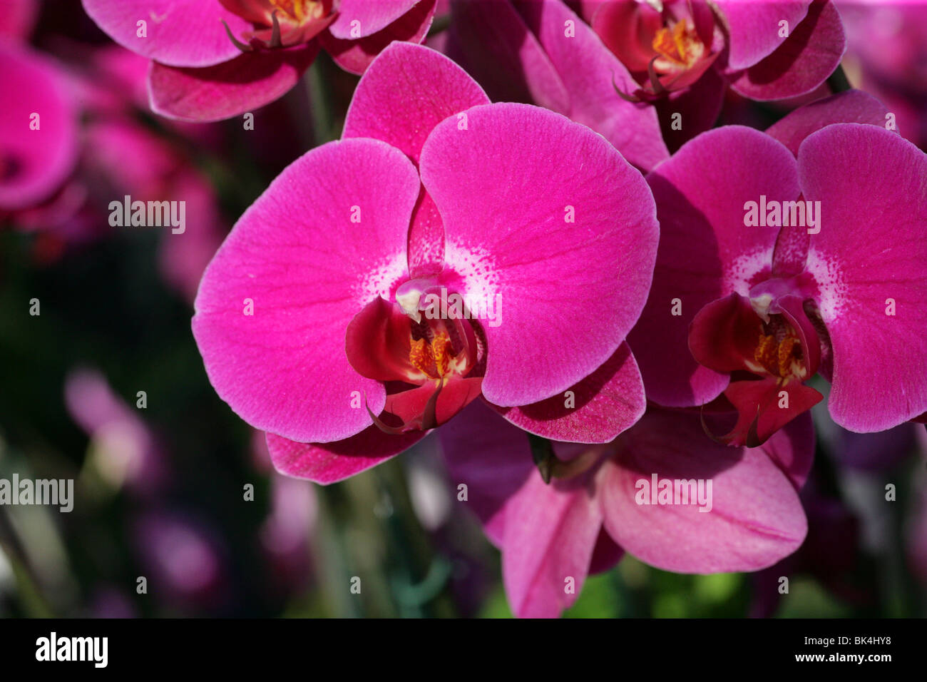 Phalaenopsis Orchid Pictures Plant Images