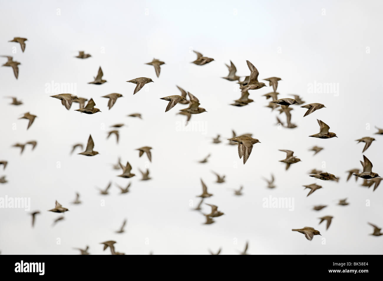 flock-of-golden-plover-pluvialis-apricar