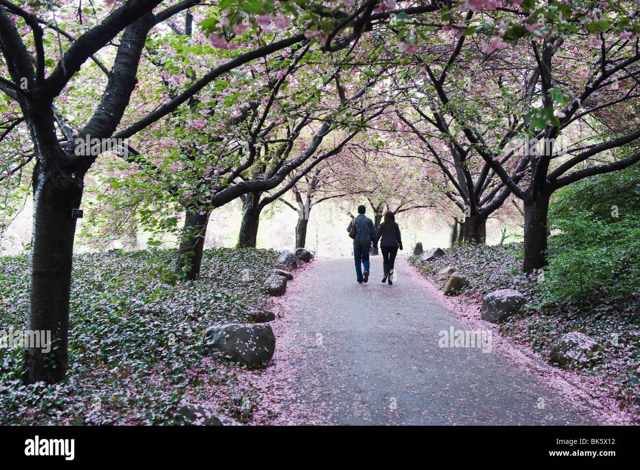 Spring Cherry Blossom Brooklyn Botanical Garden Brooklyn New York Stock Photo Royalty Free